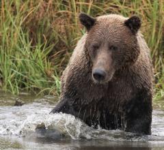 Wink Gaines brown bear