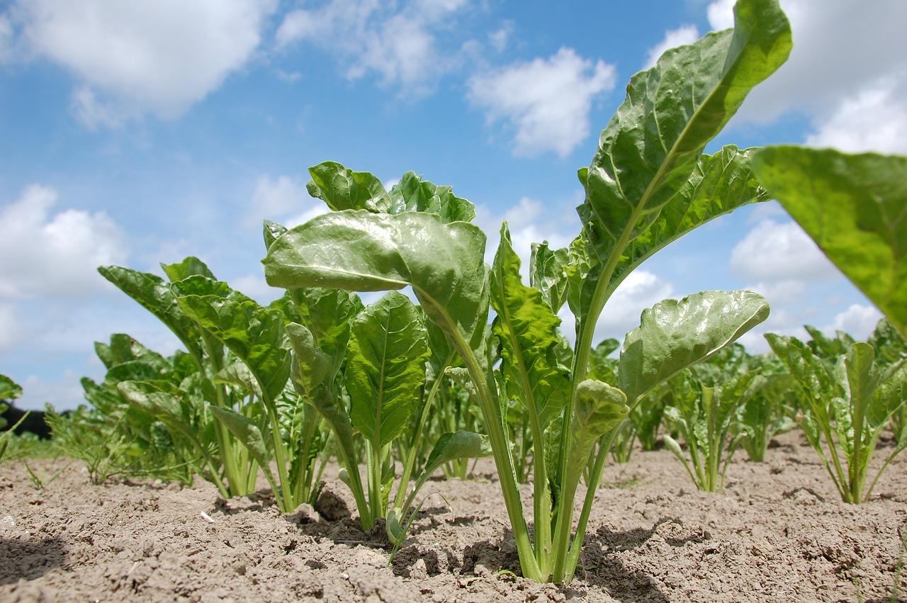 Sugar beet factory seeks to treat industrial wastewater